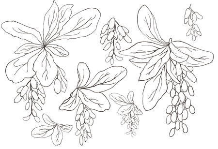 Hand drawn vector set element of graphic barberry twigs on a white background. Beautiful isolated floral design elements, perfect for prints and patterns Illustration