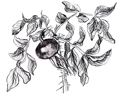 Hand drawn twig of dog roses. Black and white illustration Reklamní fotografie - 133769986