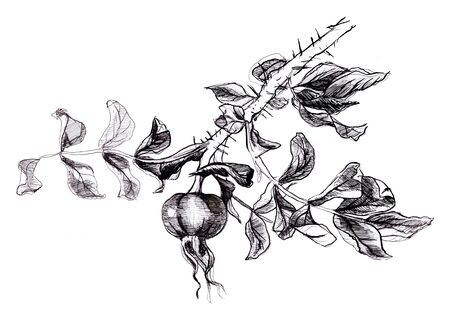 Hand drawn twig of dog roses. Black and white illustration Reklamní fotografie - 133769988