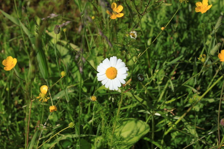 buttercups: daisy in a thicket of grass Stock Photo