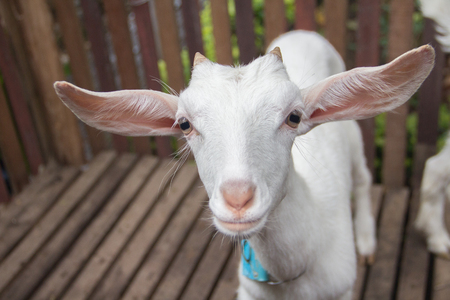 closer: Closer face sheep