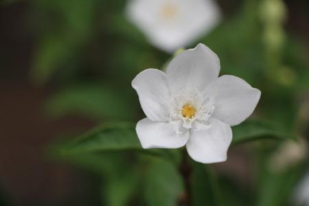 asterids: Buddhist flowers faithfully Stock Photo
