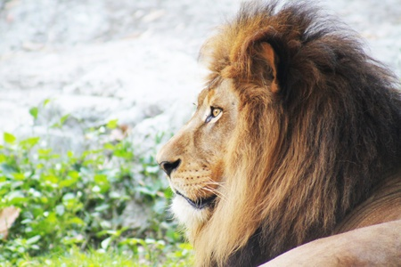 animal behavior: Close-up of a lion Stock Photo
