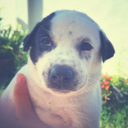 white dog: Cute puppy in retro filter effect Stock Photo
