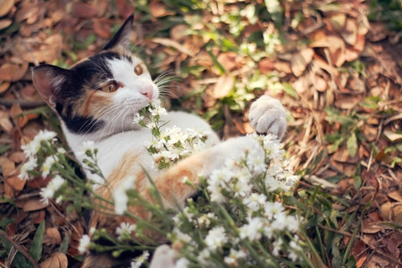 calico cat: Calico cat in soft tone vintage filter effect