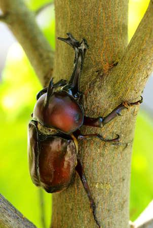 Japanese Horned Beetle