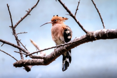 small bird named hoopoe on the branch photo