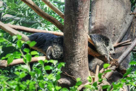bearcat: sleeping animal (binturong) in the branches of the tree