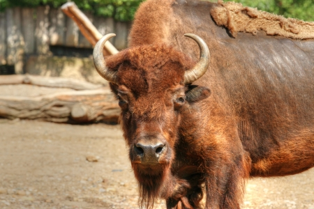 ungulate: strong ungulate (American bison) watching to you