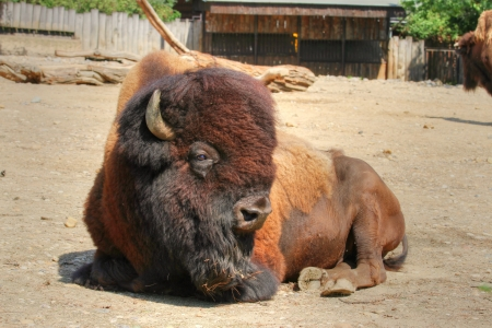 lying strong ungulate animal (American bison) with thick fur around the head 版權商用圖片 - 21988551