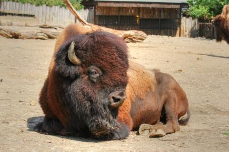 an ungulate: sdraiato forte animale ungulato (bisonte americano) con folta pelliccia intorno alla testa