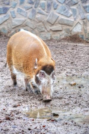 bush hog: foto del Cerdo del r�o rojo (porcus Potamochoerus)