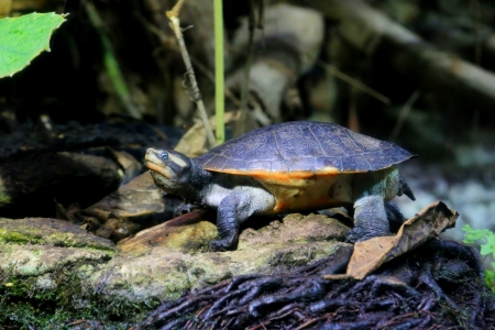 photo of the cooter ( chrysemys floridana ) turtle