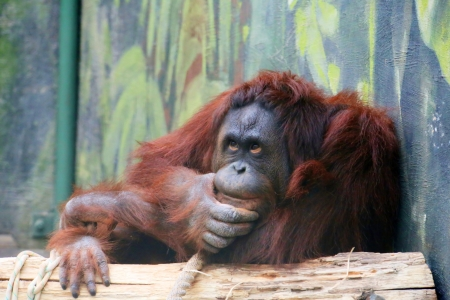 photo of the orangutan ( pongo pygmaeus pygmaeus ) in thinking position