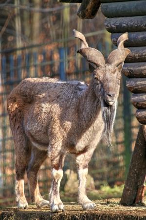 Photo of the goat. Bukharan Markhor (Capra Falconeri Heptneri) photo