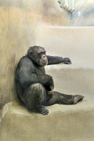 chimpances: Chimpancé (Pan troglodytes), sentado, descansando o relajarse en las escaleras