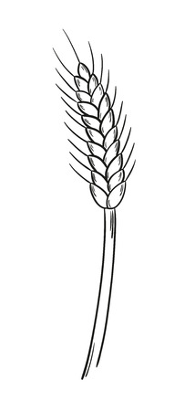 sketch of the barley on white background, isolated