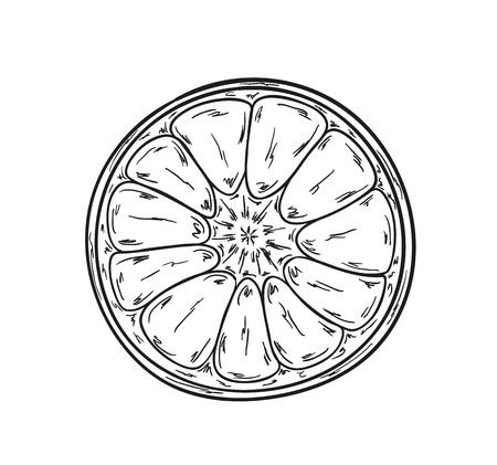 mandarins: sketch of the tangerine on white background