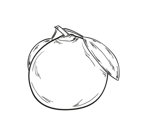 sketch of the tangerine on white background