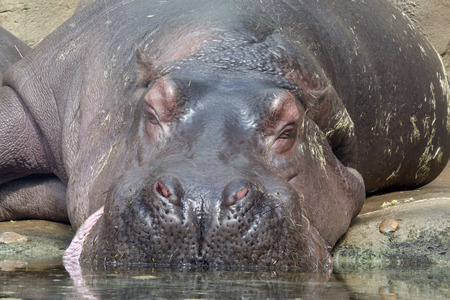photo of the sleeping hippopotamus near the water photo