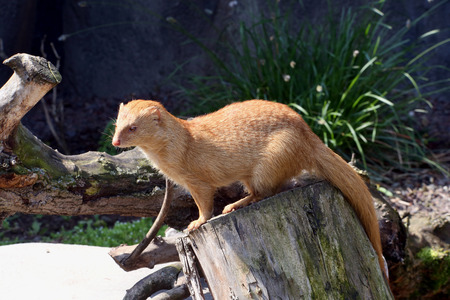 photo of the Slender mongoose on the tree photo