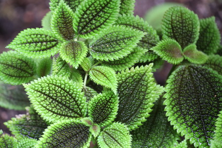 mollis: photo of the pilea mollis, green plant