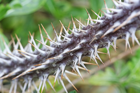 spines: photo of the spines of the cactus, detail