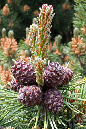 mugo: pinus mugo, branch with cone, detial photo Stock Photo