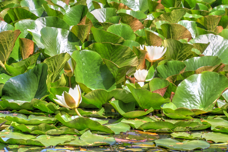 white waterlily and many green leaves, photo photo