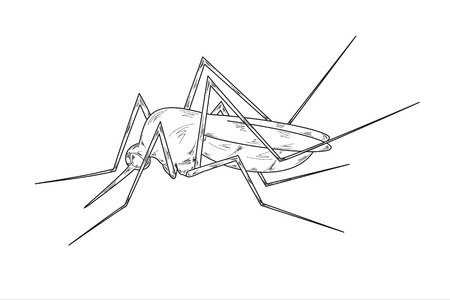 sketch of the mosquito insect on white background