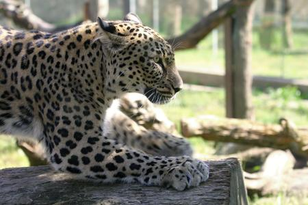 pardus: leopard - panthera pardus saxicolor