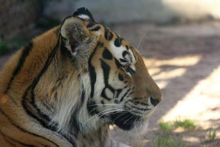 amur tiger - panthera tigris altaica photo