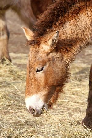 mongolia horse: Photo of the przewalskis horse eating hay