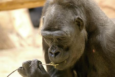 western lowland gorilla: face of the western lowland gorilla, eating grass, photo