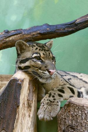 prionailurus: Fishing cat resting on the ground, photo Stock Photo