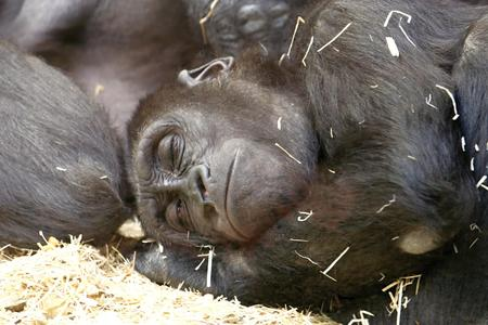 lowland: Sleeping young western lowland gorilla and his mother, photo