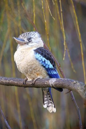 alcedinidae: Photo of the blue-winged kookaburra on the tree Stock Photo