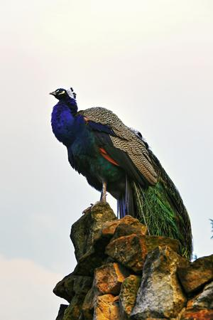 photo of the bird peacock standing on the rock