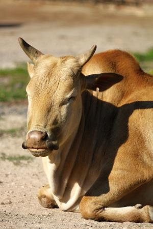 bos: photo of the dwarf zebu - bos taurus