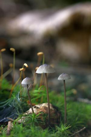 three unidentified gray mushrooms in the moss