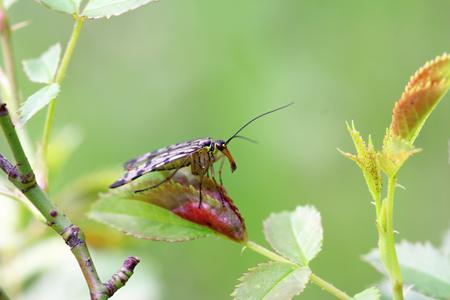 mecoptera on the stalk of grass, photo
