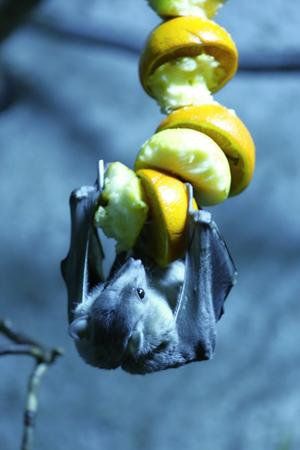 egyptian fruit bat hanging down and eating fruit Stock Photo
