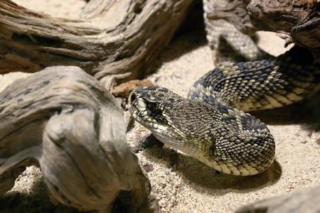 serpiente de cascabel: foto de la cabeza de la serpiente de cascabel de diamondback del este Foto de archivo