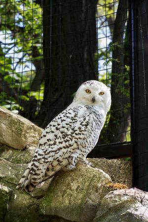 snowy owl - bubo scandiacus. One owl on the stone. photo