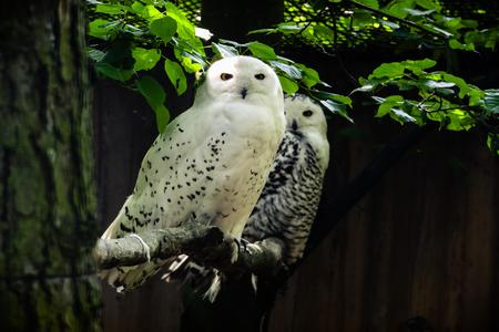 snowy owl - bubo scandiacus. Two owls on the tree.