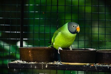 periquito: Psittacula himalayana - himalayana psittacula. Loro de color verde de asia. Atrapado en la jaula.