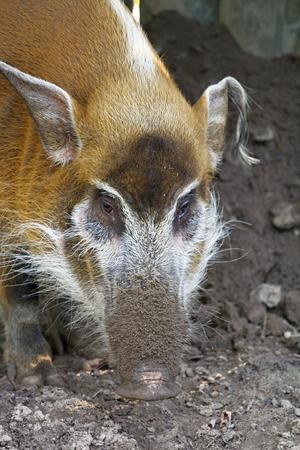 bush hog: red river hog - potamochoerus porcus, photo