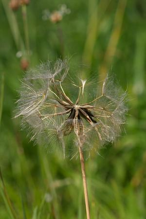 faded: photo of the dry faded dandelion in the meadow Stock Photo