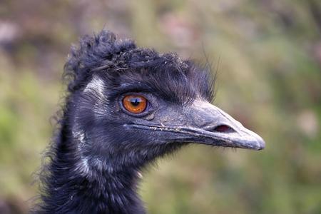 emu: Foto de detalle de la cabeza de la UEM Foto de archivo