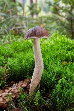 Leccinum cyaneobasileucum - edible mushroom. Fungus in the natural environment. Stock Photo